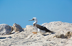 A young Brown booby (Sula leucogaster) on the Lacepede Islands, north of Broome.