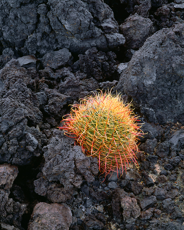 6101-1000C ~ Copyright: George H.H. Huey ~ Barrel cactus [ferocactus acanthodes]  growing out of volcanic rock.  Moon Crater, Pinacate Preserve, Sonoran Desert.  United Nations Biosphere Preserve. Sonora, Mexico.