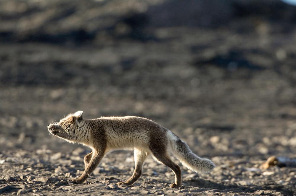 Arctic fox / Alopex lagopus<br /> Poolpynten<br /> Svalbard<br /> Norway