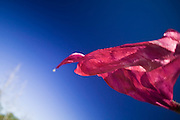 Flying Red Scarf against a blue sky