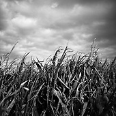 Corn Field, Suffolk 2009