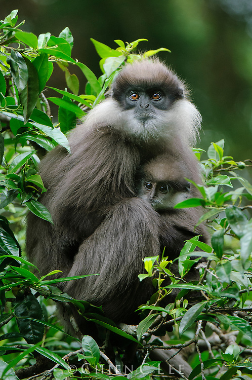 The endangered Bear Monkey (Semnopithecus vetulus monticola) is endemic the mountain forests of Sri Lanka. Central Province, Sri Lanka.