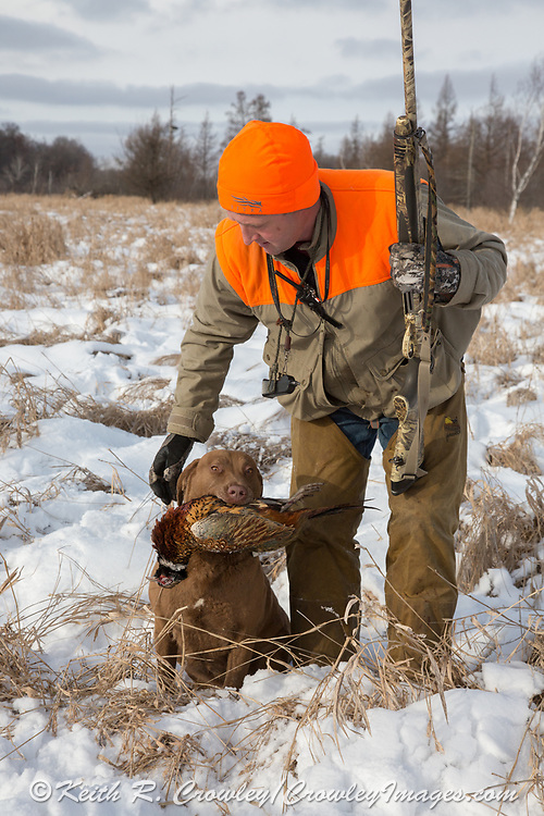 John Haugland's Chesapeake Bay Retriever, Sage, fetches a late-season rooster pheasant in central Minnesota.