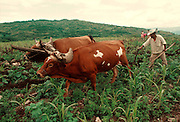 MEXICO, AGRICULTURE Plowing with traditional oxen team in fields near Oaxaca