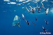 dorado, mahi mahi, or dolphin fish, Coryphaena hippurus, inspects dredge array with multiple baits and lures, off Isla Mujeres, near Cancun, Yucatan Peninsula, Mexico ( Caribbean Sea )