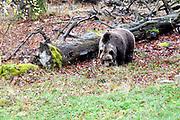 De Harz is het noordelijkste middelgebergte van Duitsland. <br /> <br /> The Harz is the northernmost mountain range in Germany.<br /> <br /> Op de foto / On the photo:  Tierpark Thale - Bruine Beer / Brown bear