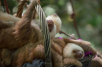 Two-toed sloths play and rest at Jaguar Rescue Center, in Punta Cocles, Cost Rica. Copyright 2017 Reid McNally.