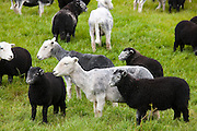Herdwick sheep and lambs at Westhead Farm by Thirlmere in the Lake District National Park, Cumbria, UK