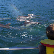 A young boy watches Dolphins in playful mood in Queen Charlotte Sound, South Island, New Zealand..The dolphins are viewed by tourists on a 'swimming with Dolphins' trip with Dolphin Watch Eco Tours, run out of Picton, South Island, New Zealand. 27th January 2011. Photo Tim Clayton..