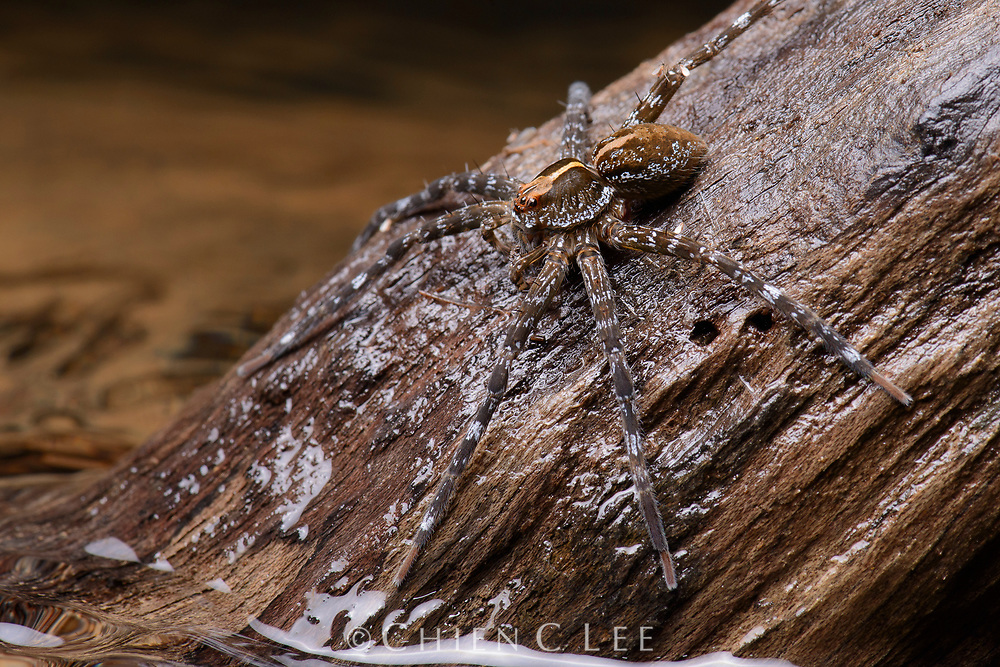 A large Fishing Spider (Dolomedes sp.) waits by the edge of a small stream for the telltale ripples of a drowning insect. With the ability to both run on the surface of water as well as dive beneath, these spiders can occasionally also catch small fish.