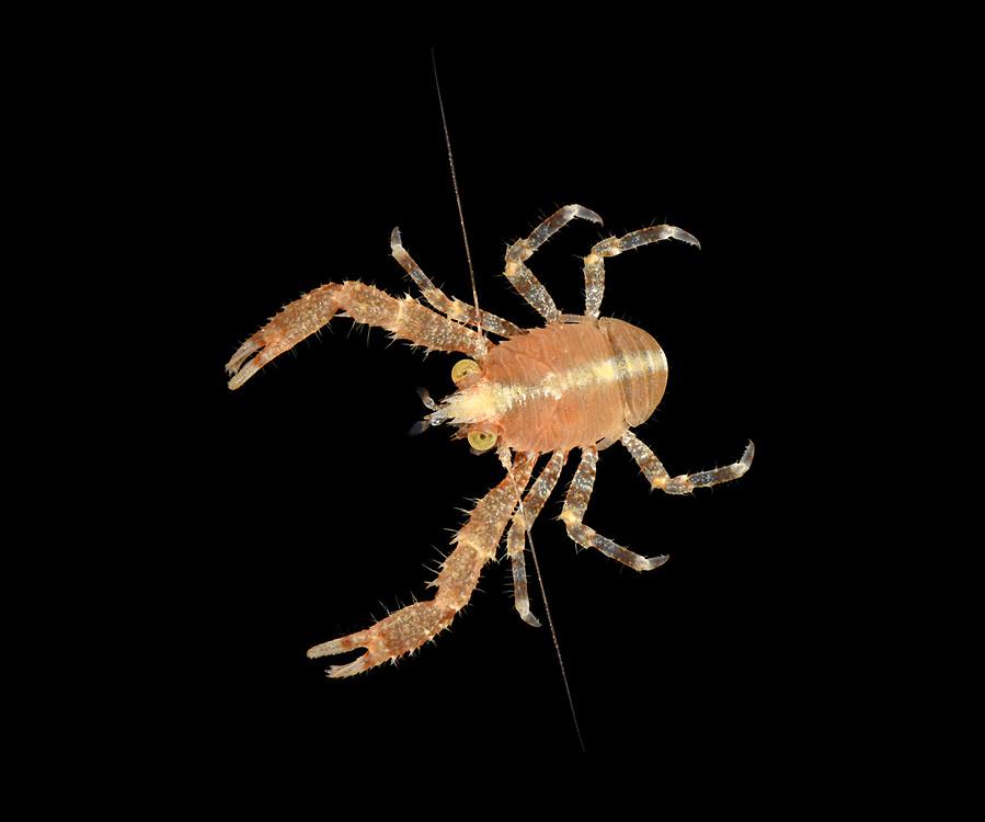 Galathea intermedia - a squat lobster