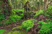 Lava tree molds, Lava Tree State Monument, The Big Island, Hawaii USA