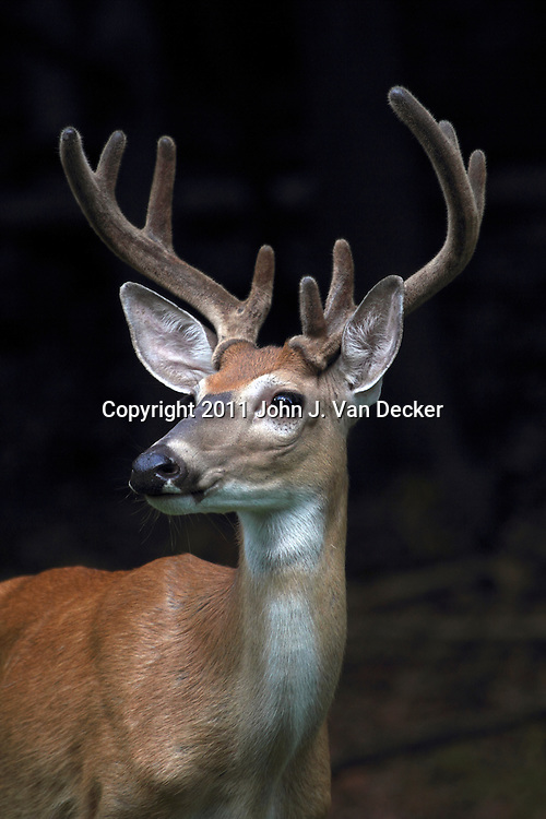 A Whitetail Deer Buck, Odocoileus virginianus, with its antlers encased in velvet. Rifle Camp Park, Woodland Park, New Jersey, USA