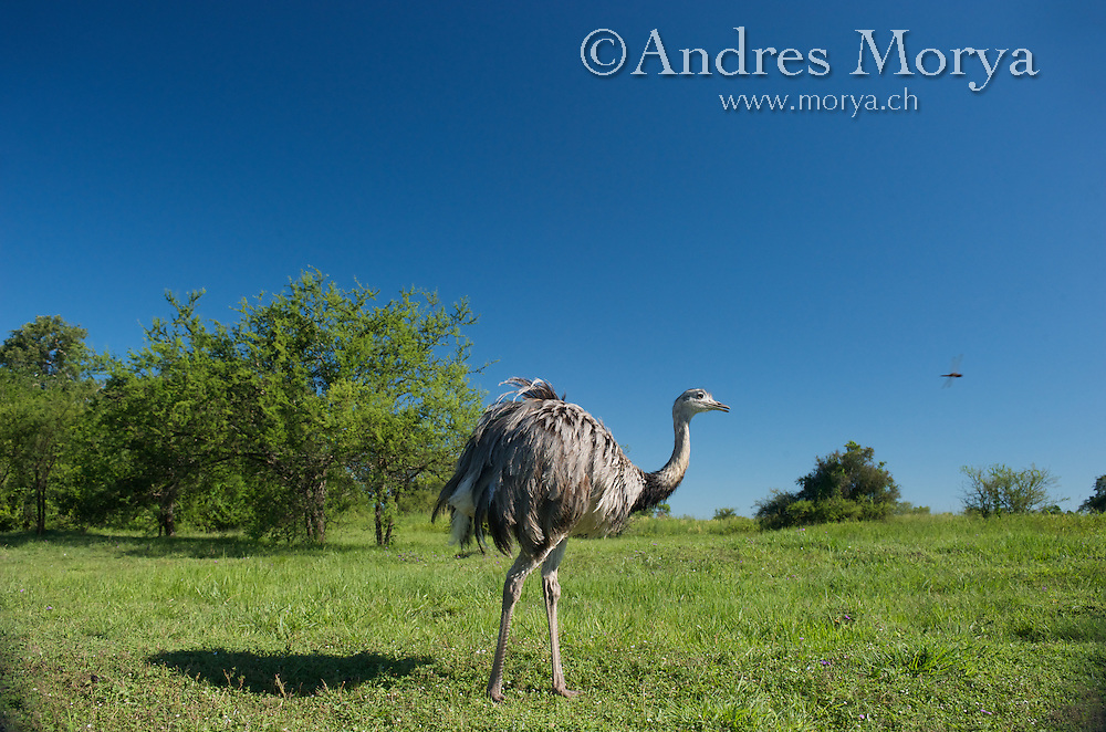 Greater Rhea, Rhea americana, Corrientes, Argentina. Is a flightless bird found in eastern South America. Is endemic to Argentina, Bolivia, Brazil, Paraguay, and Uruguay. It inhabits a variety of open areas, such as grasslands, savanna or grassy wetlands. Image by Andres Morya