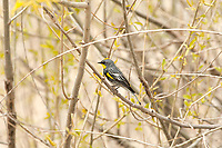 A springtime male Yellow Rumped Warbler perched in a willow tree that is just starting to bud.