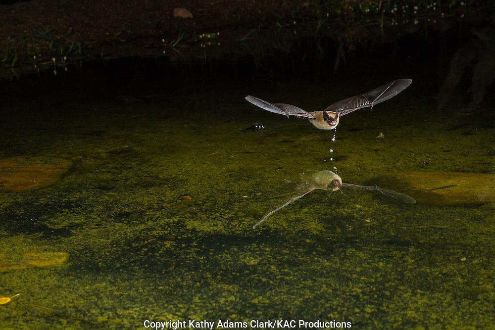 Arizona myotis, Myotis occultus, at night flying over water, Sonoran desert, southern Arizona in the summer.