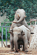 Male Asiatic Elephant Elephas maximus mounting a female