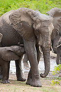 A baby African elephant (Loxodonta africana) nurses in the wild at Kruger National Park, South Africa. The mother (cow) and baby are covered in mud after mud bathing. http://www.gettyimages.com/detail/photo/african-elephant-baby-nursing-south-africa-high-res-stock-photography/92063834