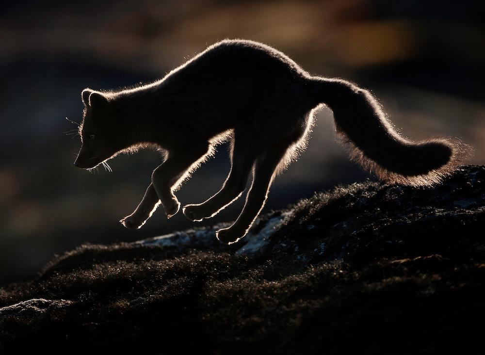 Greenland; Vulpes lagopus; Artic Fox