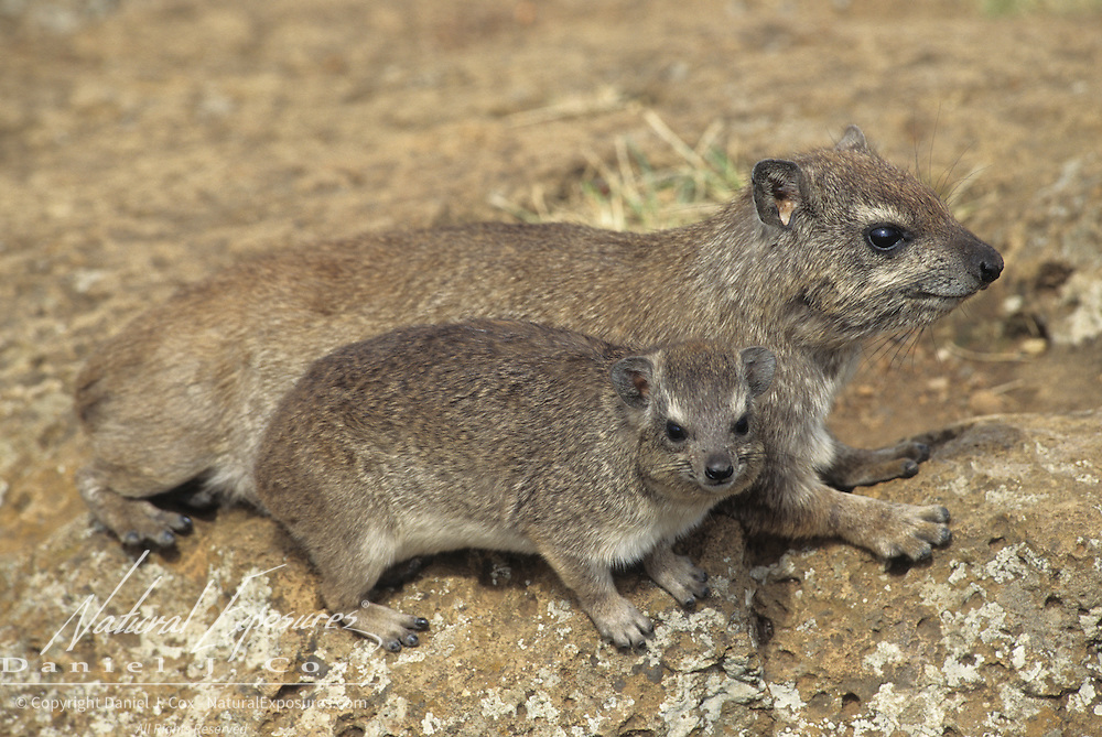 Rock Hyrax adult and baby on rocks. Masai Mara National Reserve, Kenya, Africa