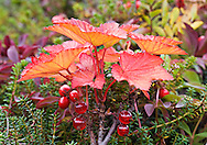 Closeup (macro) of Red Currants near the south fork of Eagle River in Chugach State Park, Alaska. Southcentral. Afternoon.