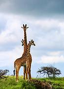 A herd of Masai Giraffe (Giraffa camelopardalis) Photographed in Serengeti National Park, Tanzania