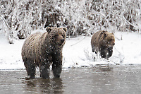 Grizzly bears fishing on the Arctic Circle in the northern Yukon, Canada