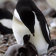 Adelie Penguin (Pygoscelis adeliae).  An adult and chicks in a nest on Torgensen Island,  Antarctic Peninsula.