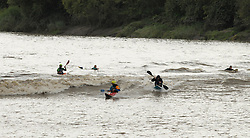 © Licensed to London News Pictures. 12/08/2014; Minsterworth, Gloucestershire, UK.  Surfers and kayaks ride the Severn Bore at Minsterworth on the banks of the river Severn.  The Severn Bore is a natural phenomenon of the incoming tide funneling up the river Severn from the Severn Estuary.<br /> Photo credit: Simon Chapman/LNP