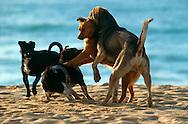 PRT, Portugal: Streunender Hund, Haushund (Canis lupus familiaris), vier Hunde treffen sich am Strand und spielen spontan, der Stand ist der Treffpunkt, Armacao de Pera, Algarve | PRT, Portugal: Stray dog, domestic dog (Canis lupus familiaris), four dogs meeting at the beach playing spontaneously, the beach is the meeting point, Armacao de Pera, Algarve |