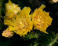 Yellow Prickly Pear Cactus Flower Image taken with a Leica TL2 camera and 60 mm f/2.8 macro lens