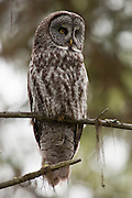 A Great Grey Owl (Strix nebulosa), OR.