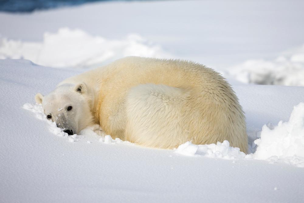 Norway, Svalbard, Spitsbergen Island, Polar Bear (Ursus maritimus) curls up to sleep on snow-covered iceberg along northern coastline