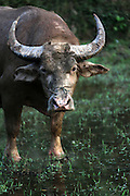 Water Buffalo moxy