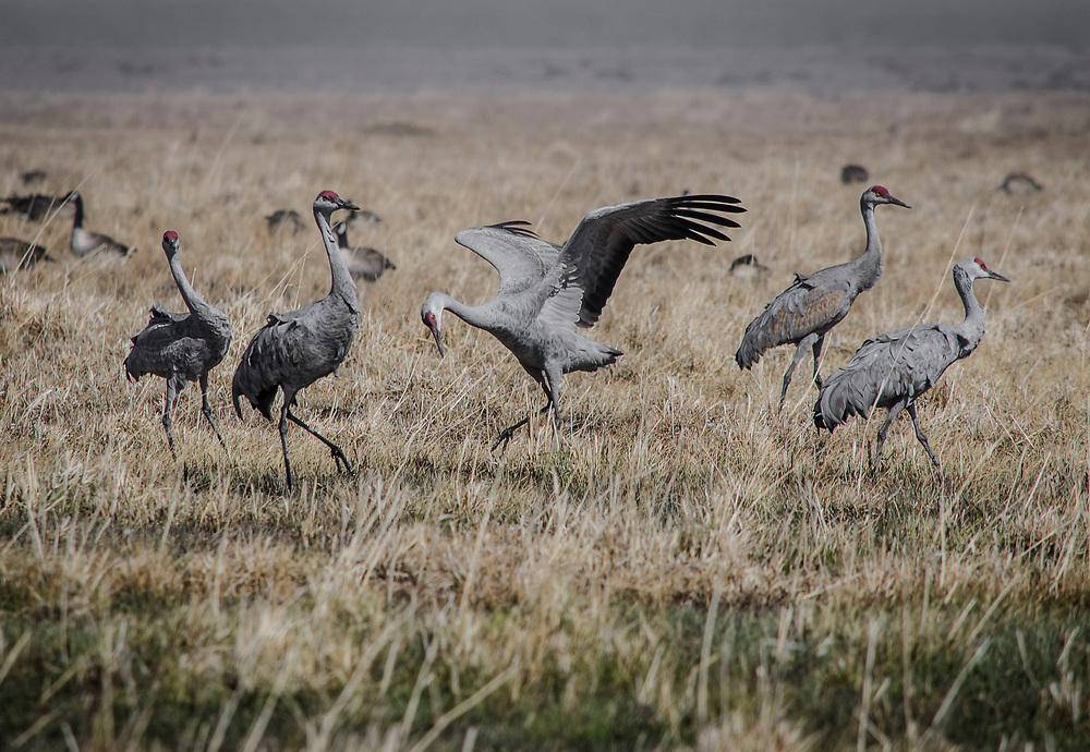 Sandhill Cranes. San Luis Valley, Colorado. <br /> <br /> AVAILABLE AS:<br /> <br /> Size 20&rdquo; x 16&rdquo; (50.8cm x 40.6cm approx)*<br /> Edition of ONLY 100 at this size.<br /> US$350 + shipping<br /> <br /> Hand printed in Taos, New Mexico, USA by Taos Print and Photography Services using archival inks and fine art paper. signed and numbered by hand.<br /> <br /> Contact jim@jimodonnellphotography.com to order