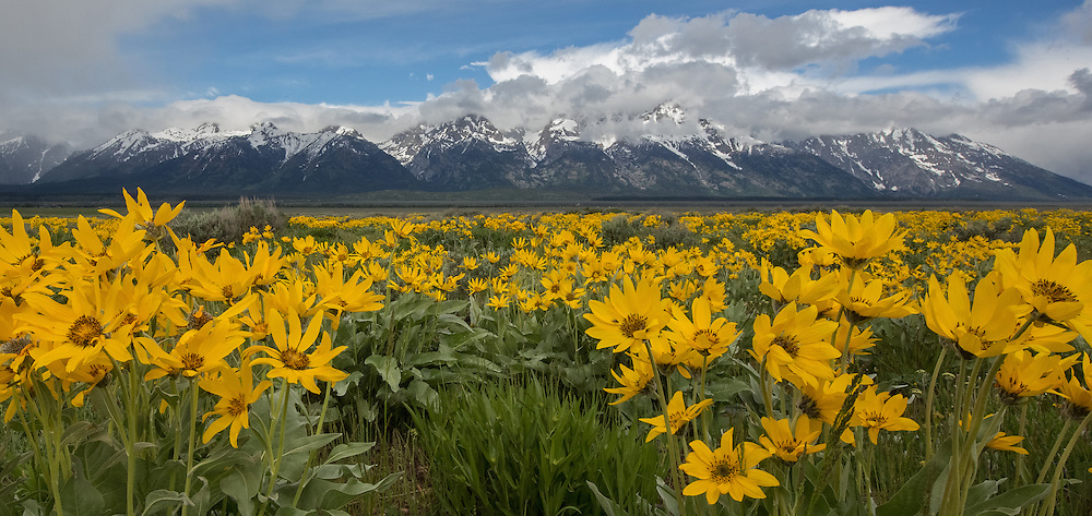 Fields of bright yellow arrowleaf balsamroot add a pop of color to Grand Teton National Park. Balsamroot grow in large bunches up to two feet tall and often cover sunny meadows and hillsides in late spring.