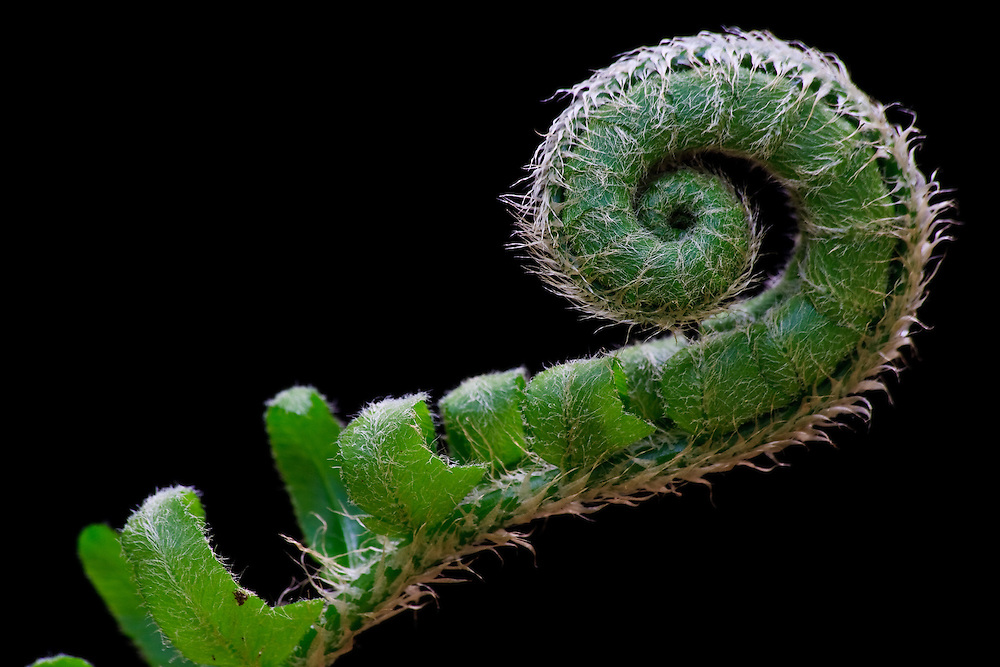 Close-up of the fiddlehead of a Christmas Fern (Polystichum acrostichoides) unfolding at Great Falls National Park, Great Falls, Virginia