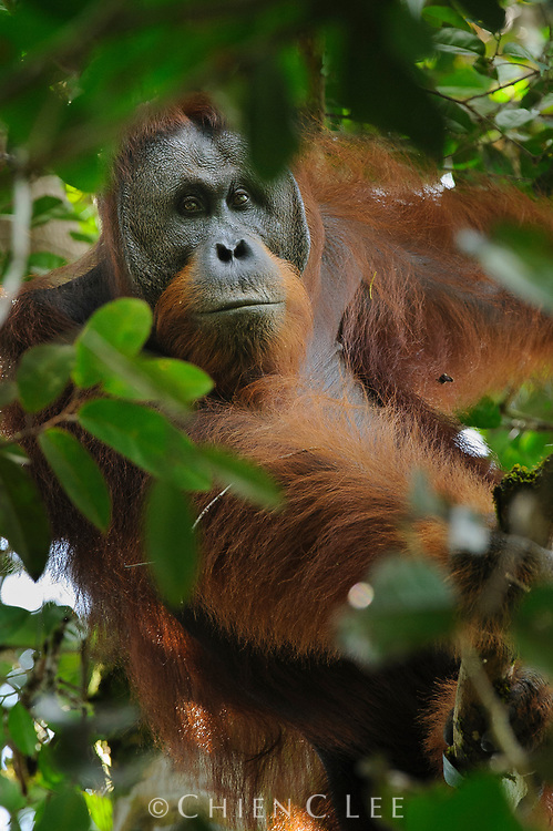 This large male Northwest Bornean Orangutan (Pongo pygmaeus pygmaeus) is just beginning to develop cheek pads, a sign of maturity and placing his age to perhaps between 15 to 20 years.