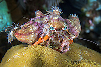 Pale Anemone Hermit Crab<br /> <br /> This animal places live anemones on its shell as a line of defense against potential predators.<br /> <br /> Shot in Indonesia