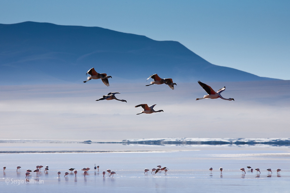 A small flock of pink Andean flamingos take flight above the high-altitude Laguna Colorada in the Sud Lipez region of southwestern Bolivia.  A region that averages 14,000 ft above sea level deep in the Andes mountains.