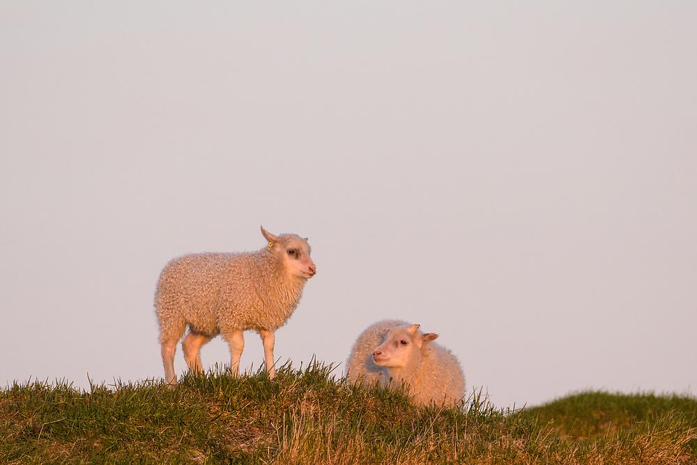 Icelandic lamb, Flatey, Iceland