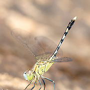 Female Chalky percher Dragonfly, Diplacodes trivialis, in Pang Sida National Park, Thailand.