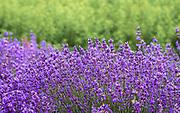 Lavender Field at 123 Farm & Highland Springs Ranch