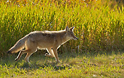 Coyote (Canis latrans)<br />Elk Island National Park<br />Alberta<br />Canada