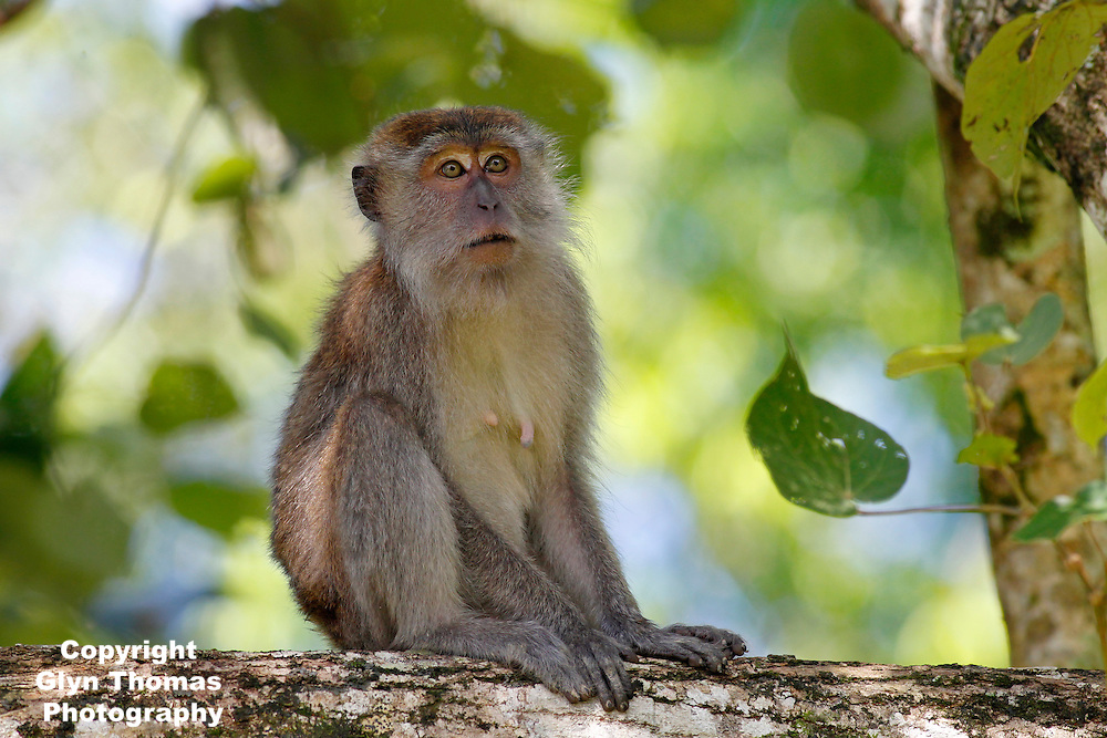 Crab-eating macaque - Macaca fascicularis - also known as the long-tailed macaque, Bako National Park, Sarawak, Malaysia