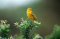 Yellow Warbler perching on bush