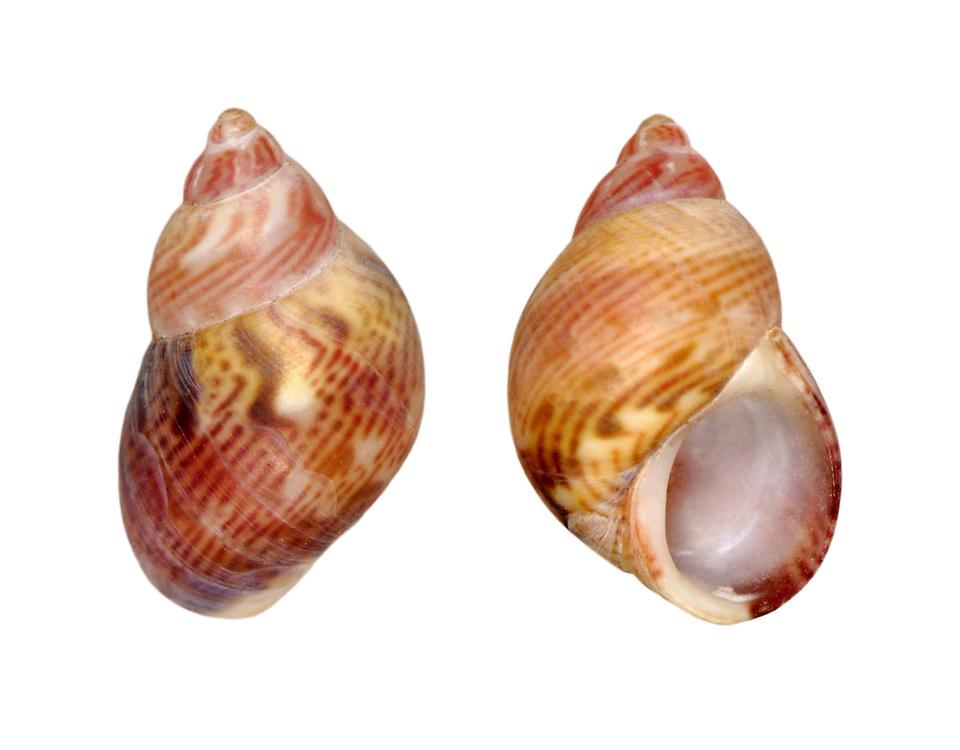 pheasant shell<br /> Tricolia pullus