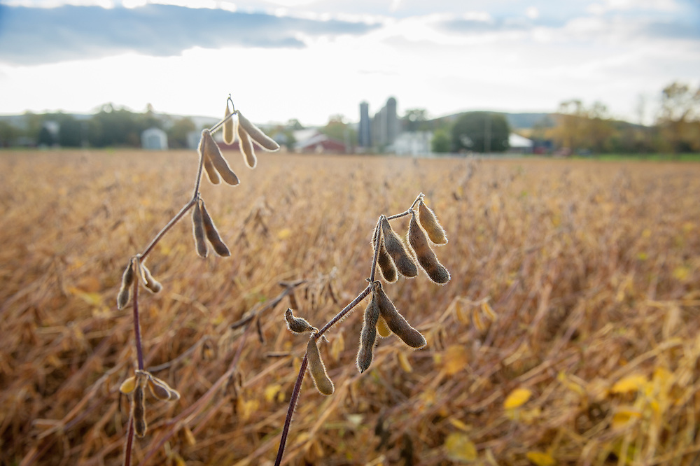 Soybean plants with a farm in the distance in Boonsboro, Maryland, USA