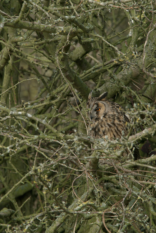 Long Eared Owl Hiding Amongst branches (Asio otus)