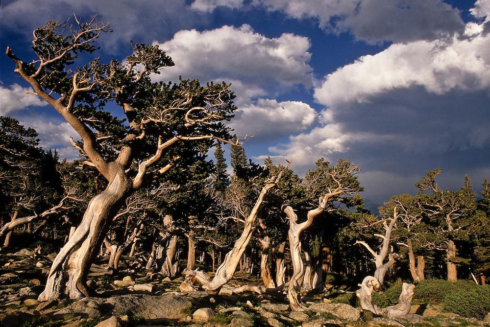 Bristlecone Pine [Pinus aristata] forest; Mt. Goliath Natural Area, Mt. Evans, Colorado